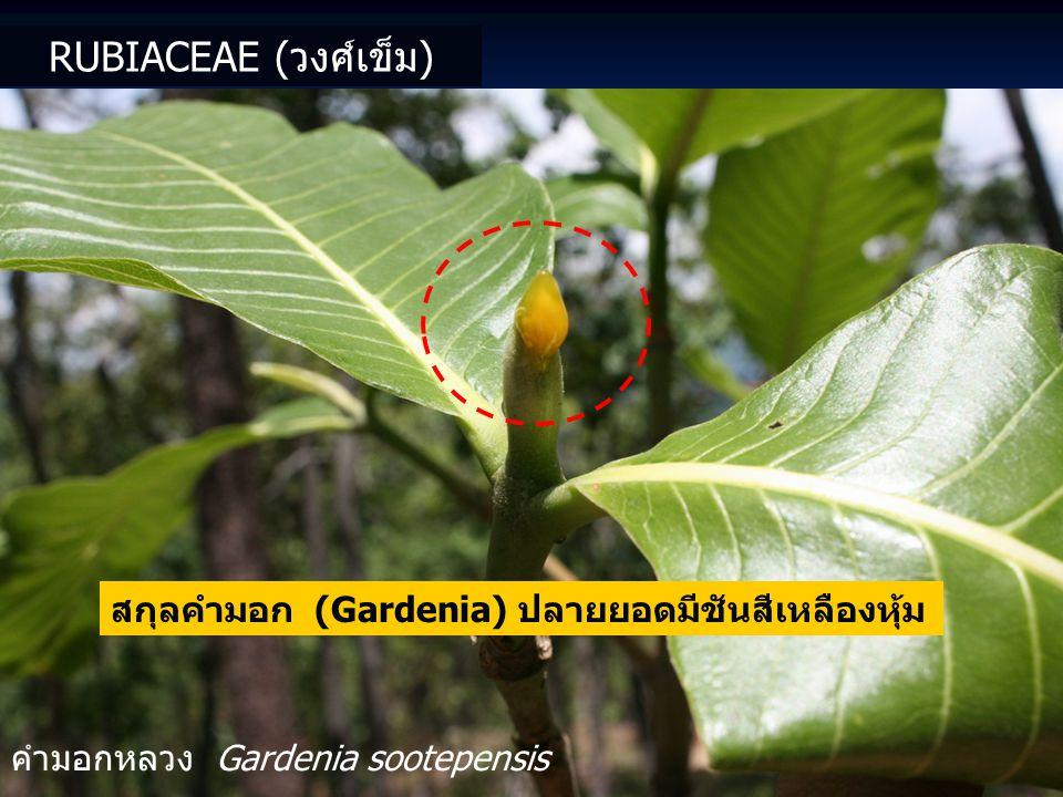 Rubiaceae (วงศ์เข็ม) สกุลคำมอก (Gardenia) ปลายยอดมีชันสีเหลืองหุ้ม