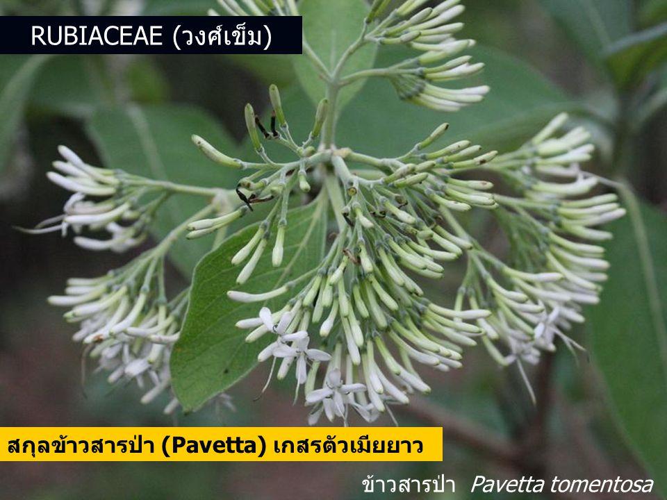 ข้าวสารป่า Pavetta tomentosa