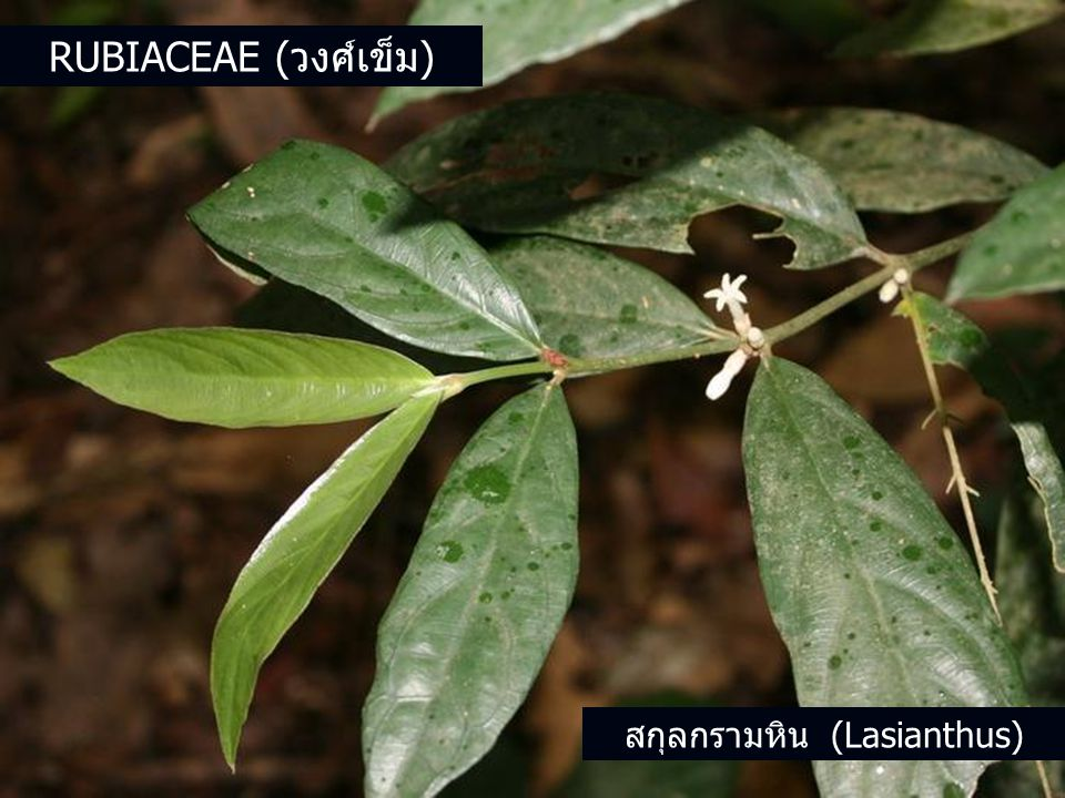 สกุลกรามหิน (Lasianthus)