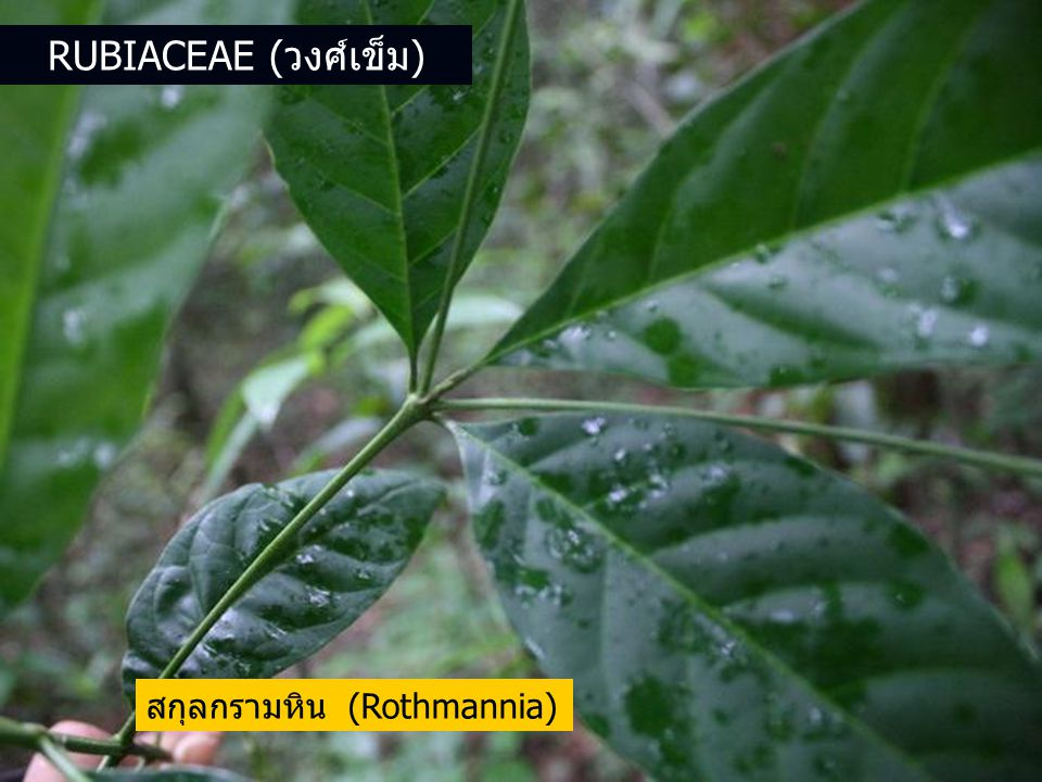 Rubiaceae (วงศ์เข็ม) สกุลกรามหิน (Rothmannia)