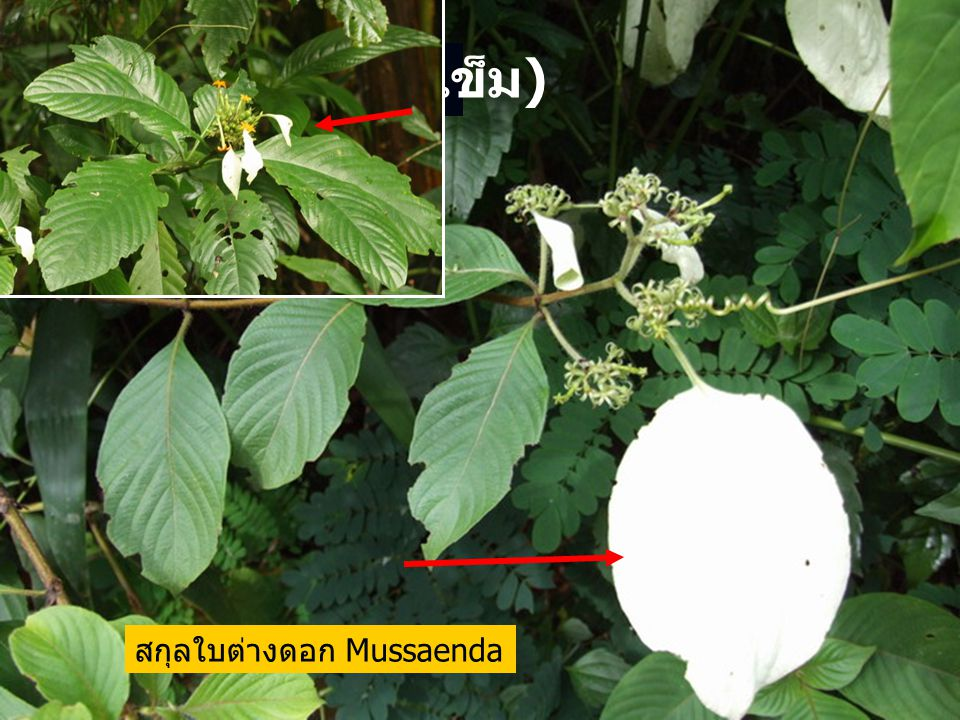 Rubiaceae (วงศ์เข็ม) สกุลใบต่างดอก Mussaenda