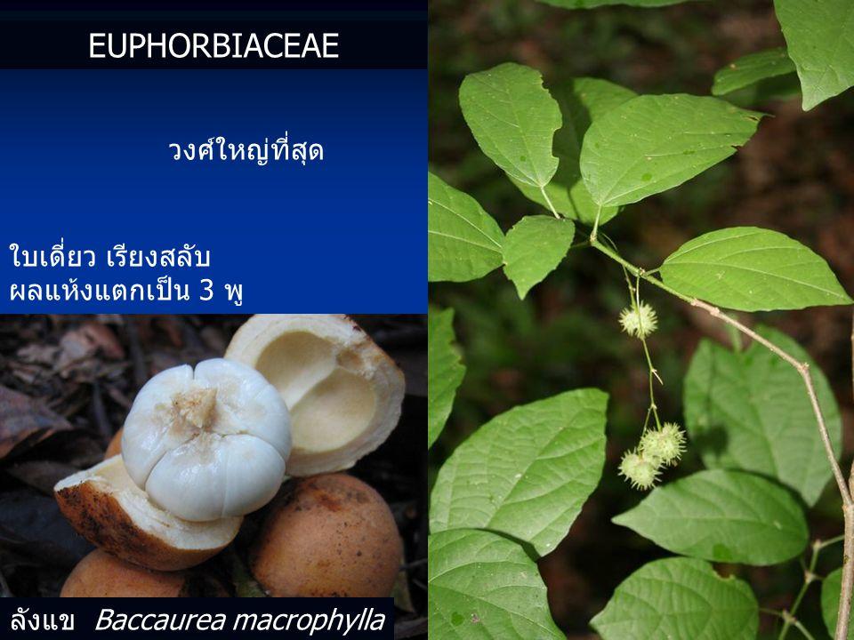 ลังแข Baccaurea macrophylla