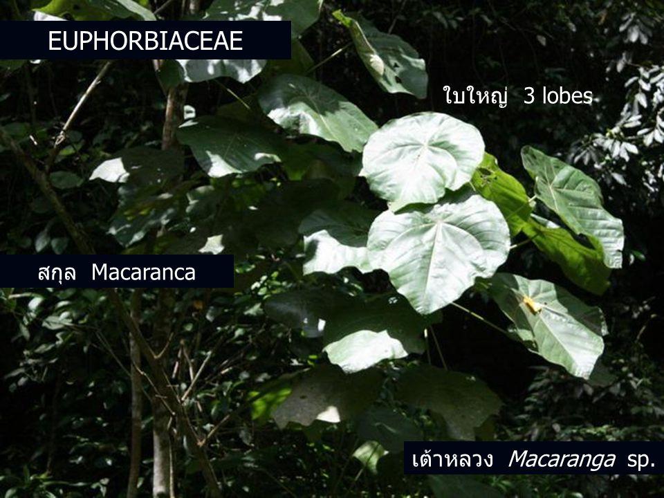 Euphorbiaceae ใบใหญ่ 3 lobes สกุล Macaranca เต้าหลวง Macaranga sp.