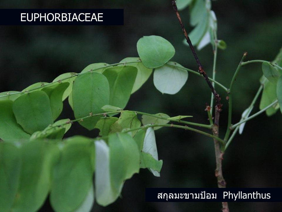 สกุลมะขามป้อม Phyllanthus