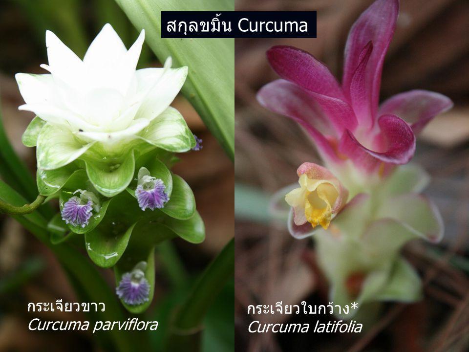 สกุลขมิ้น Curcuma กระเจียวขาว กระเจียวใบกว้าง* Curcuma parviflora