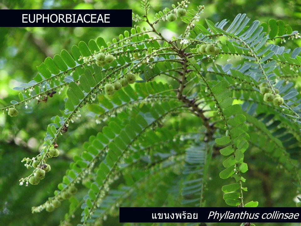 Euphorbiaceae แขนงพร้อย Phyllanthus collinsae