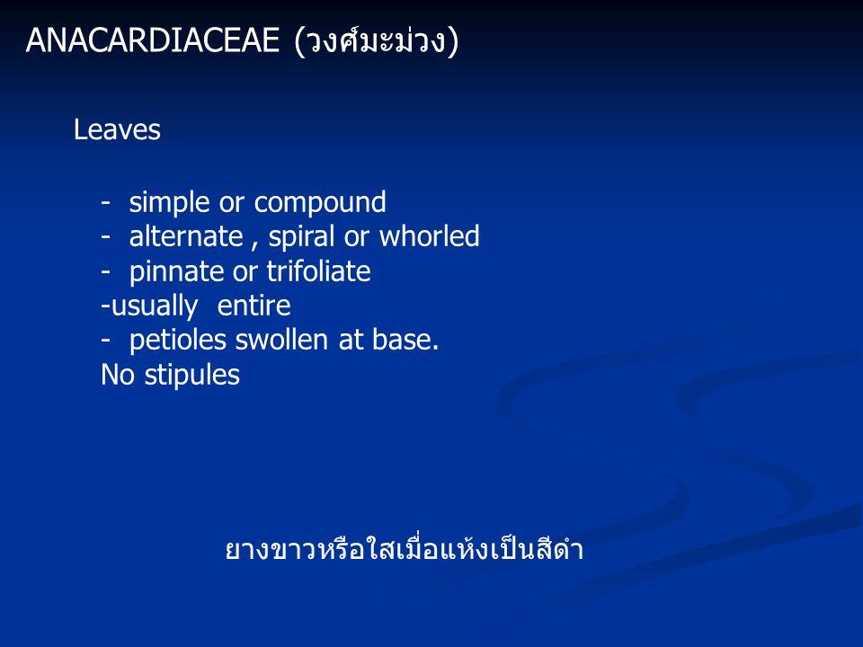 Anacardiaceae (วงศ์มะม่วง)