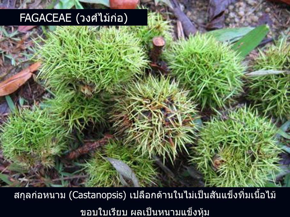 Fagaceae (วงศ์ไม้ก่อ)