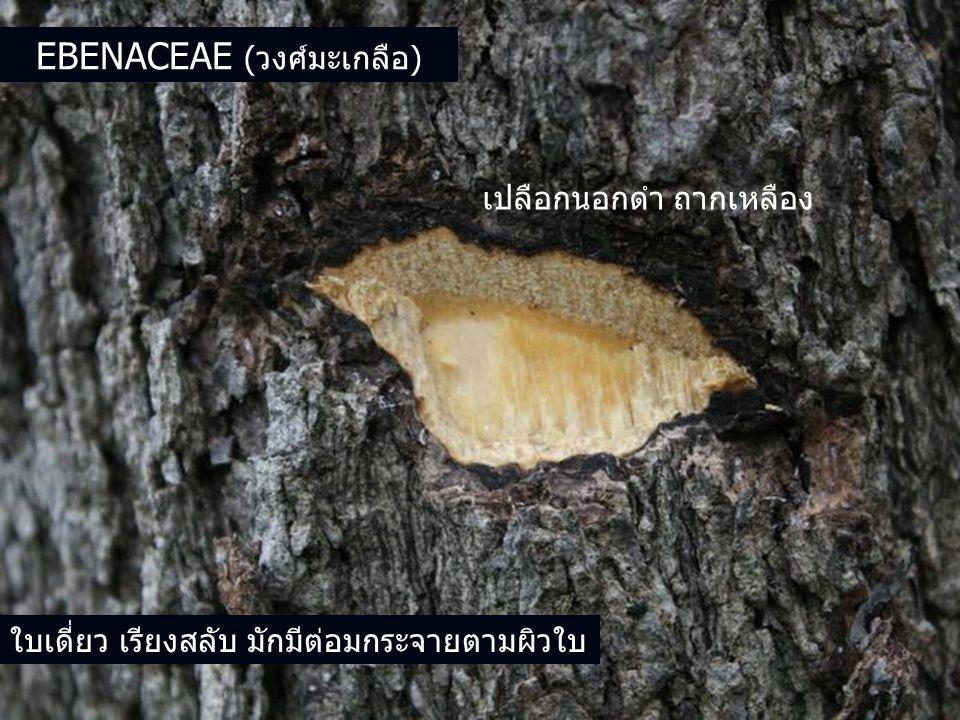 Ebenaceae (วงศ์มะเกลือ)