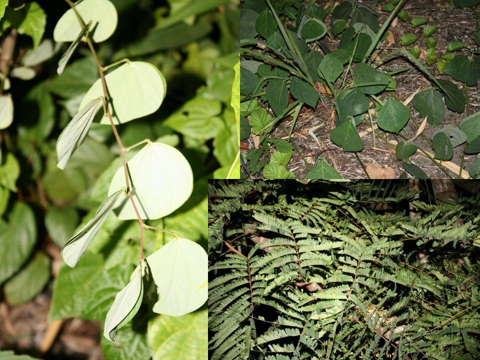 Leguminosae (วงศ์ถั่ว)