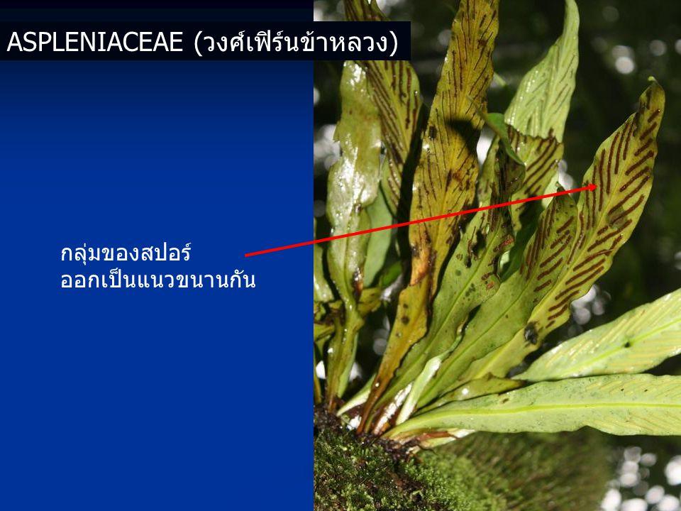 Aspleniaceae (วงศ์เฟิร์นข้าหลวง)