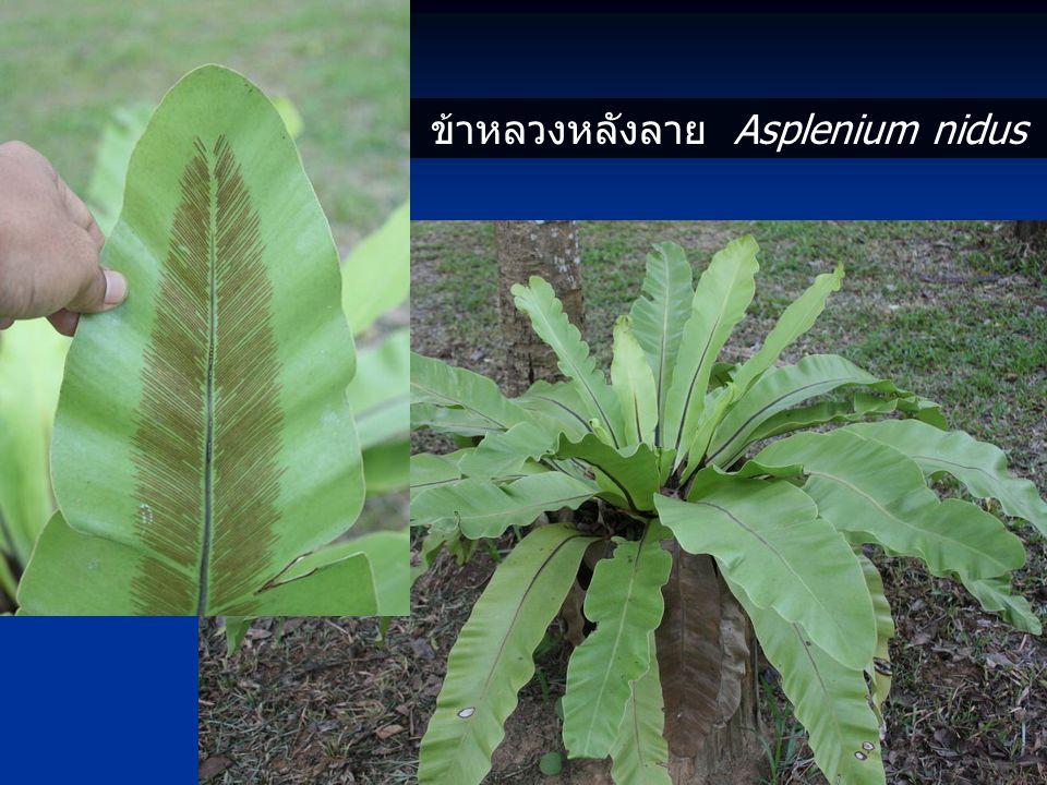 ข้าหลวงหลังลาย Asplenium nidus