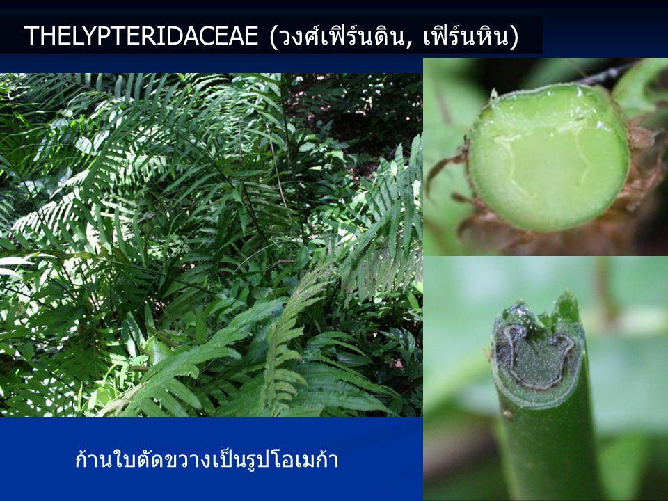 Thelypteridaceae (วงศ์เฟิร์นดิน, เฟิร์นหิน)