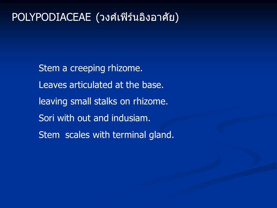 Polypodiaceae (วงศ์เฟิร์นอิงอาศัย)
