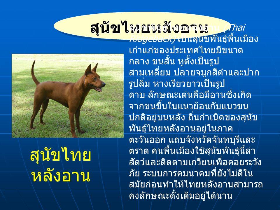 สุนัขไทยหลังอาน สุนัขไทยหลังอาน
