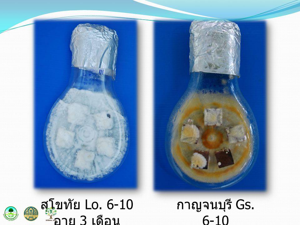 สุโขทัย Lo. 6-10 อายุ 3 เดือน กาญจนบุรี Gs. 6-10