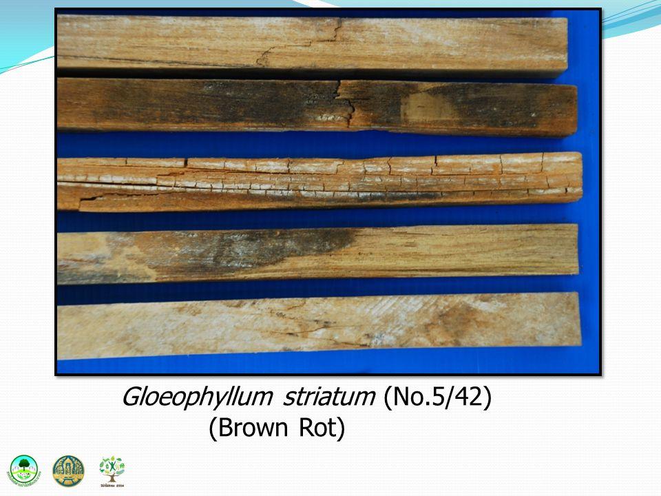 Gloeophyllum striatum (No.5/42)
