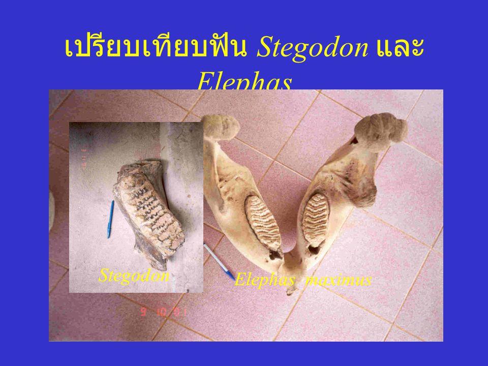 เปรียบเทียบฟัน Stegodon และ Elephas