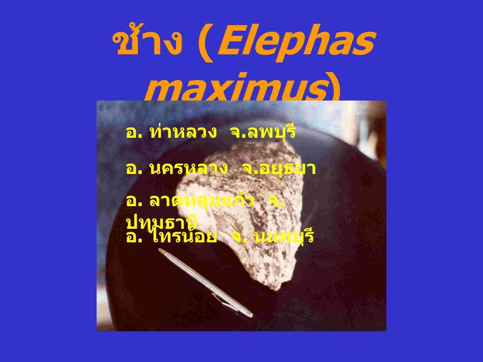 ช้าง (Elephas maximus)
