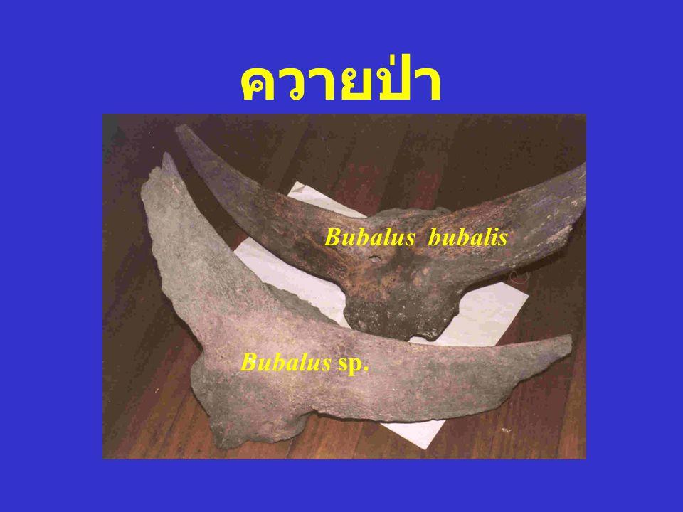 ควายป่า Bubalus bubalis Bubalus sp.