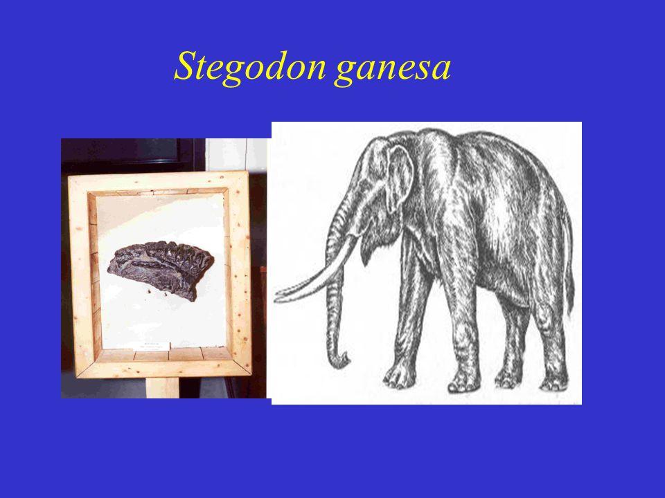 Stegodon ganesa