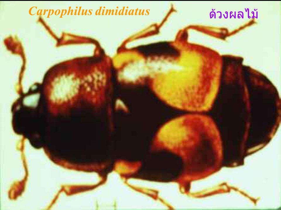 Carpophilus dimidiatus