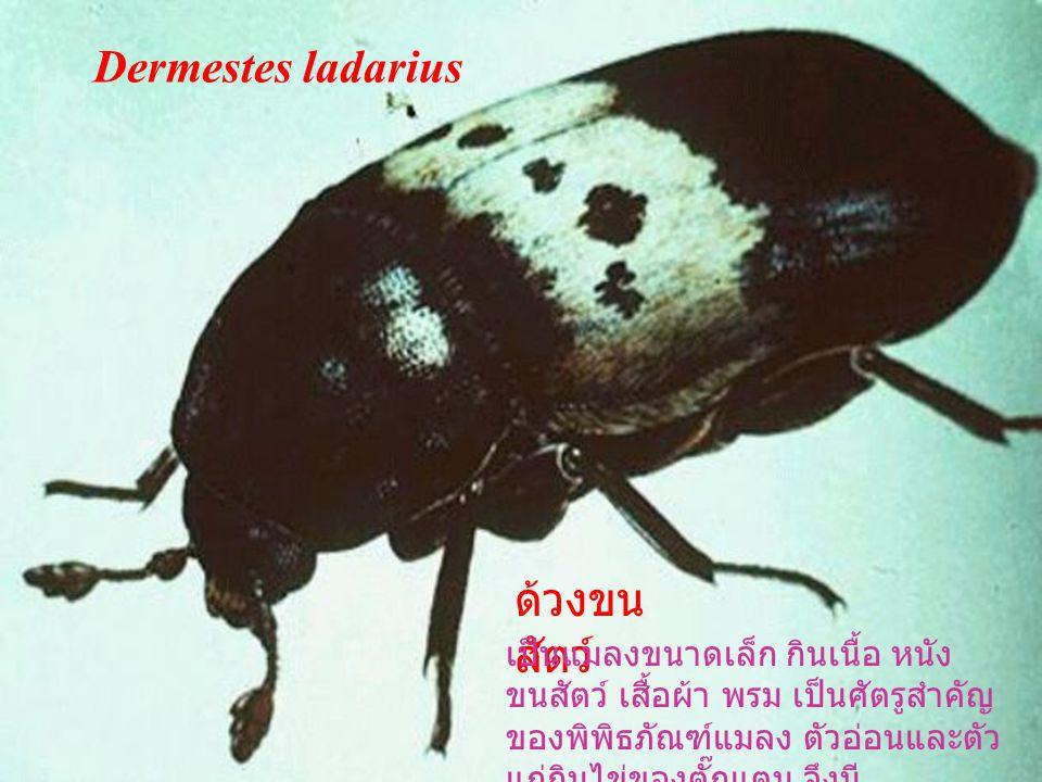 Dermestes ladarius ด้วงขนสัตว์