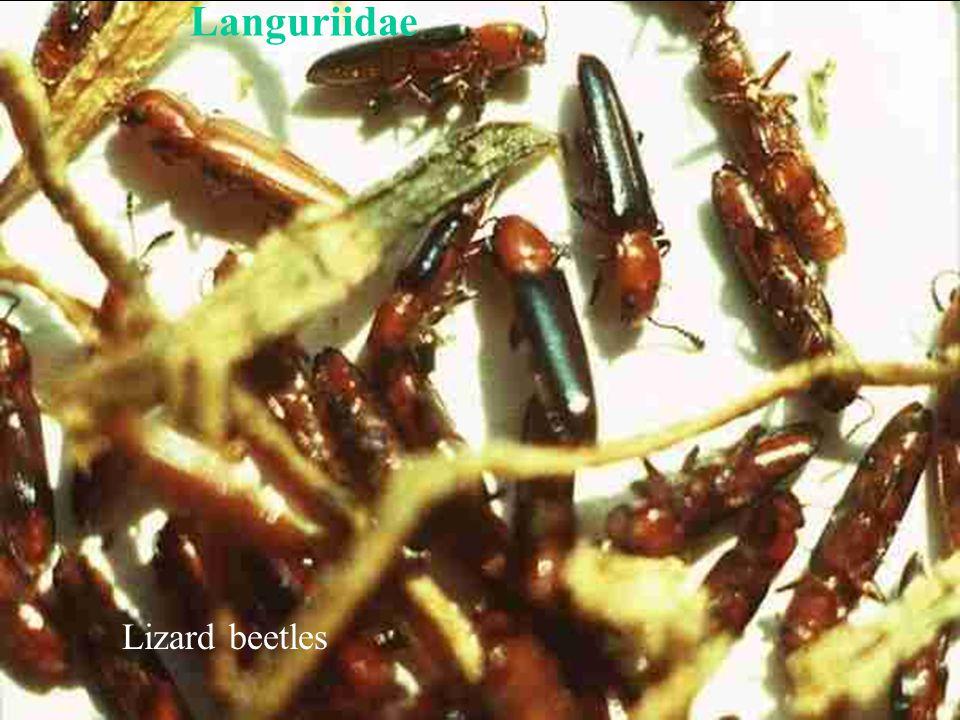 Languriidae Lizard beetles