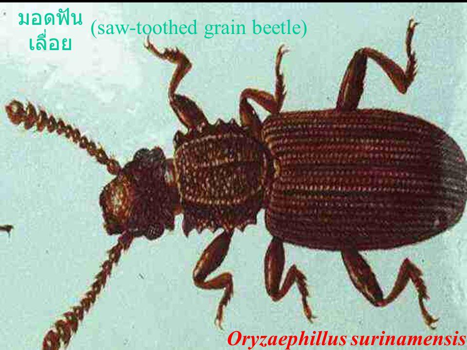 มอดฟันเลื่อย (saw-toothed grain beetle) Oryzaephillus surinamensis