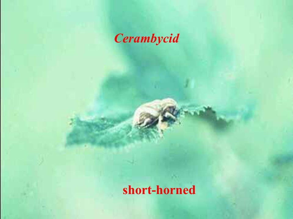 Cerambycid short-horned