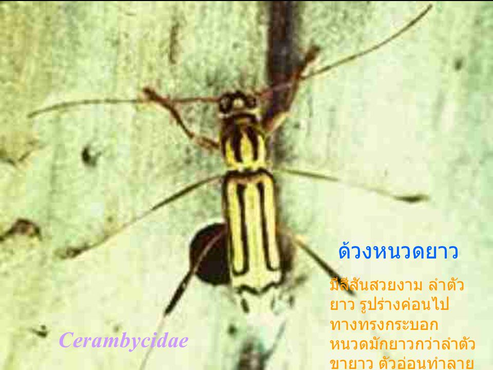 ด้วงหนวดยาว Cerambycidae