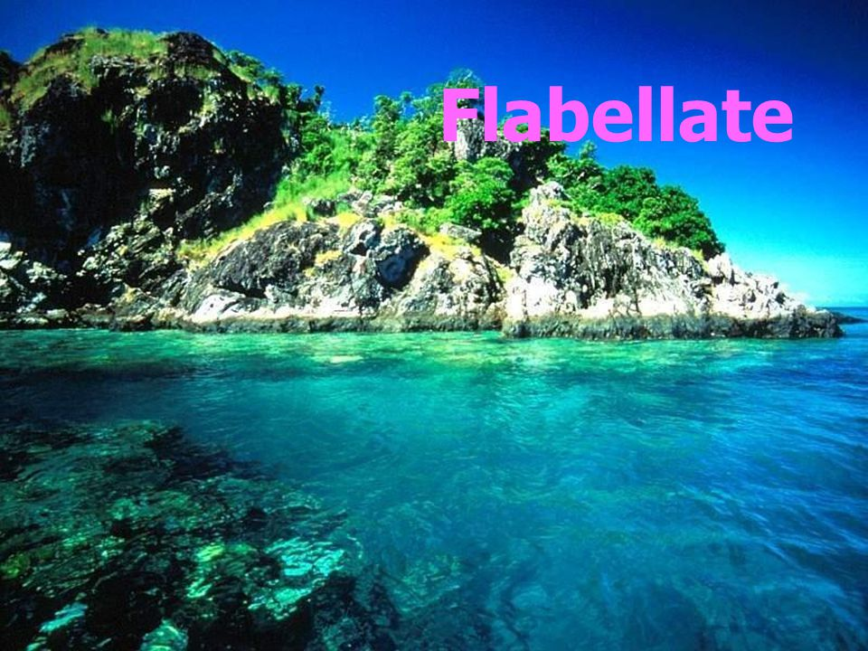 Flabellate