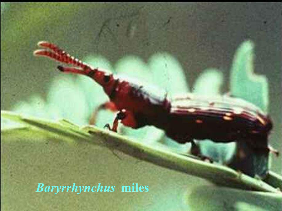 Baryrrhynchus miles