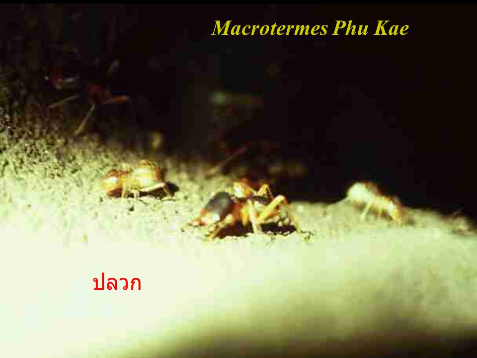 Macrotermes Phu Kae ปลวก