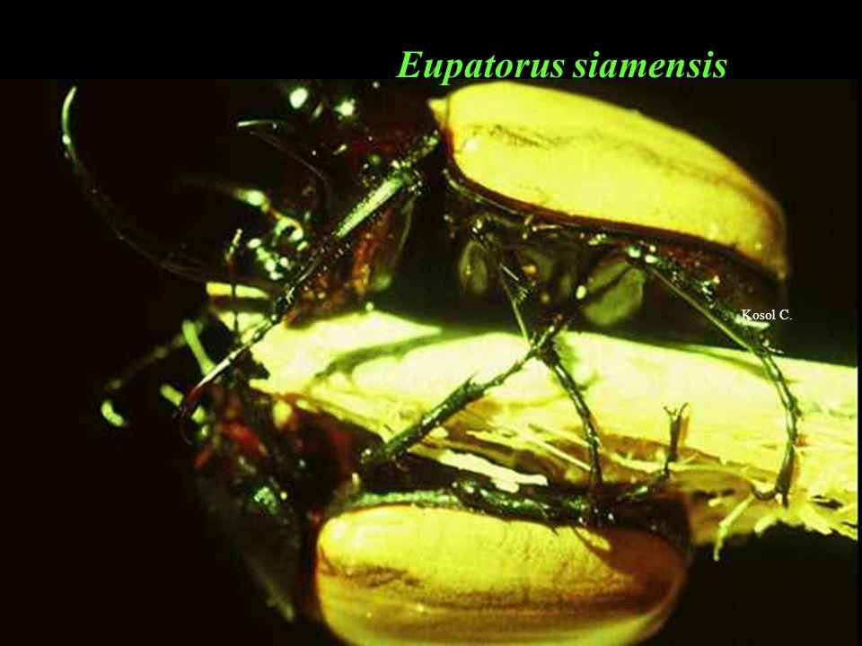 Eupatorus siamensis Kosol C.