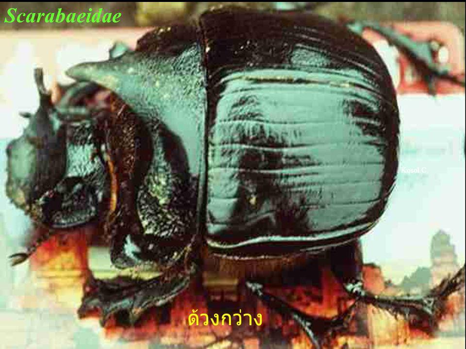 Scarabaeidae Kosol C. ด้วงกว่าง