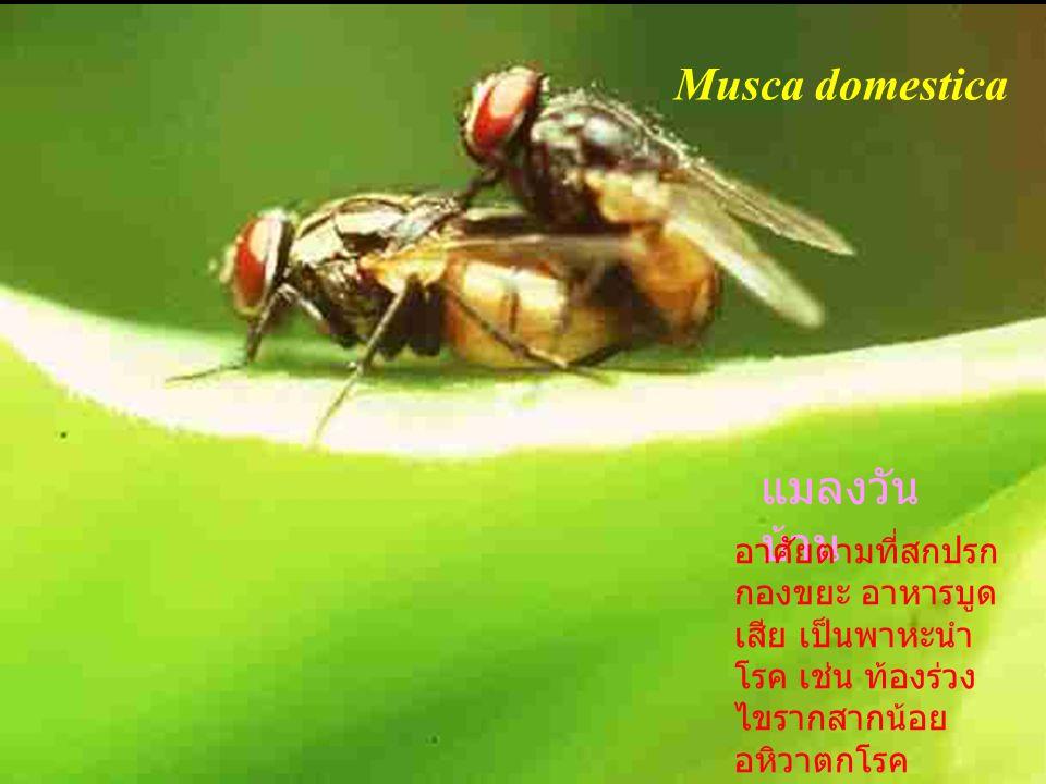 Musca domestica แมลงวันบ้าน
