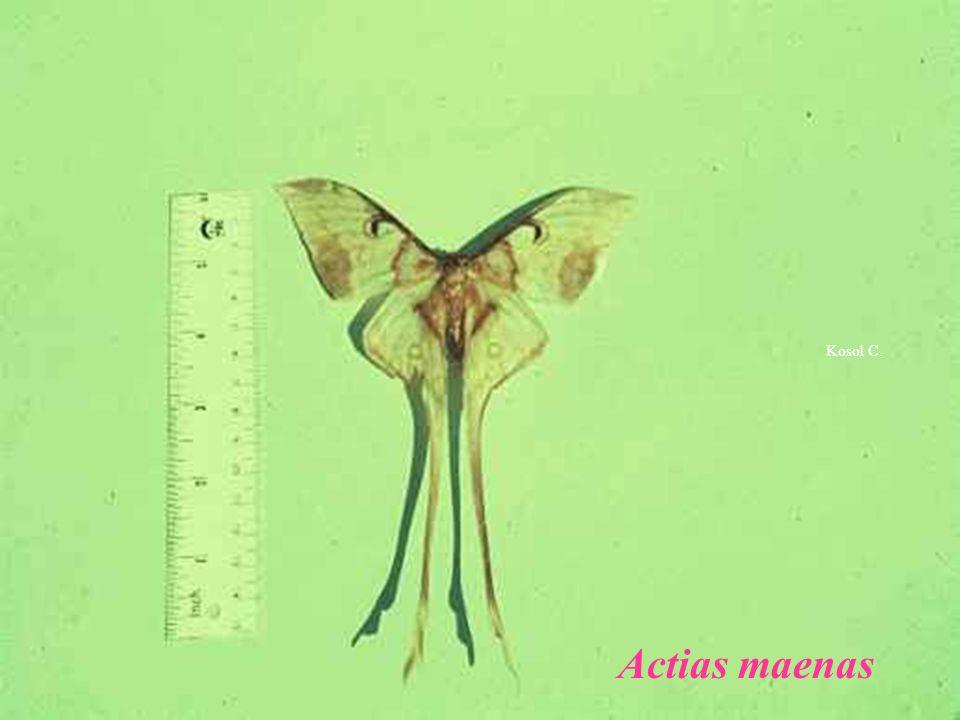 Kosol C. Actias maenas