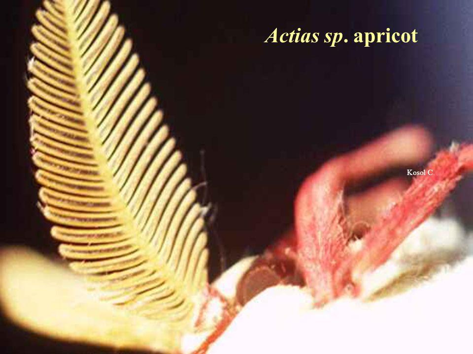 Actias sp. apricot Kosol C.