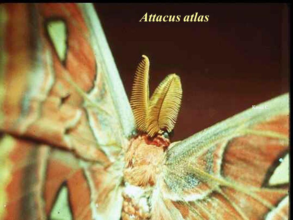 Attacus atlas Kosol C.