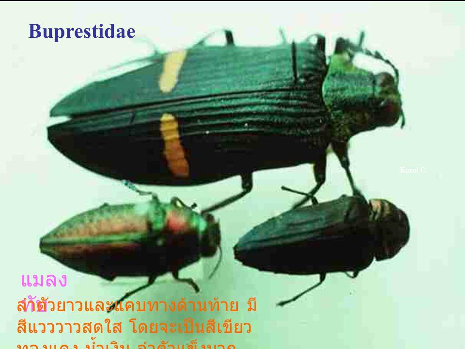 Buprestidae Kosol C. แมลงทับ.