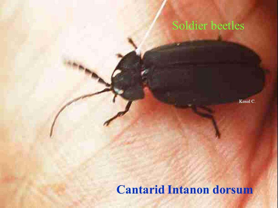 Cantarid Intanon dorsum