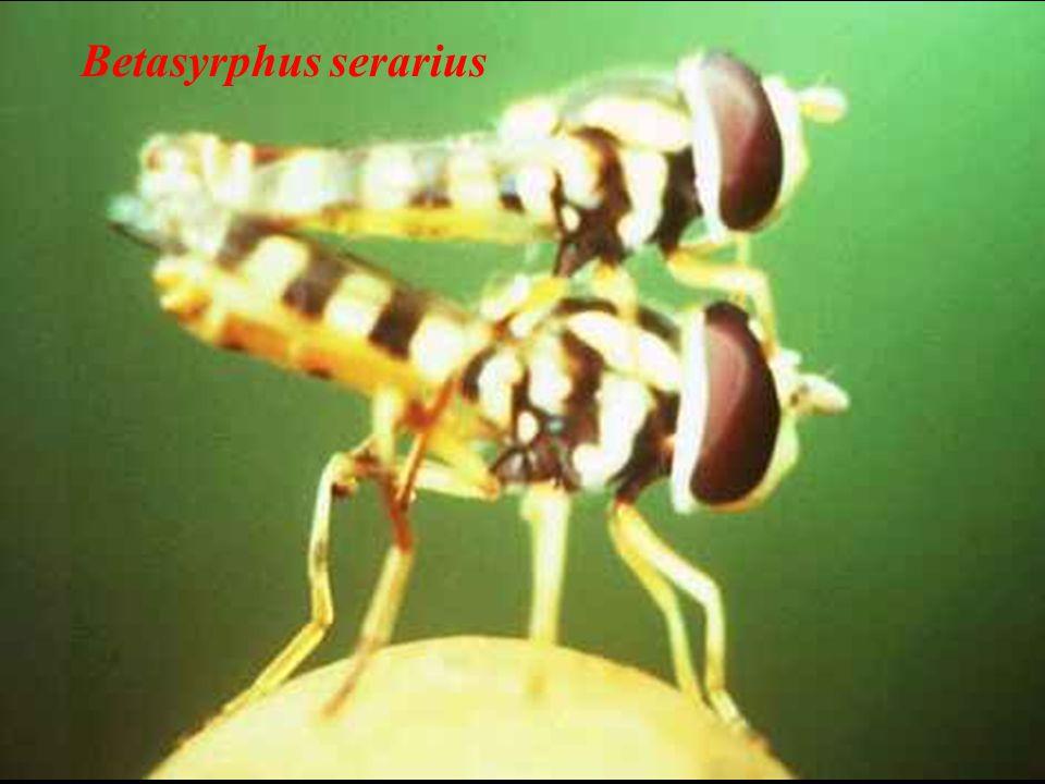 Betasyrphus serarius