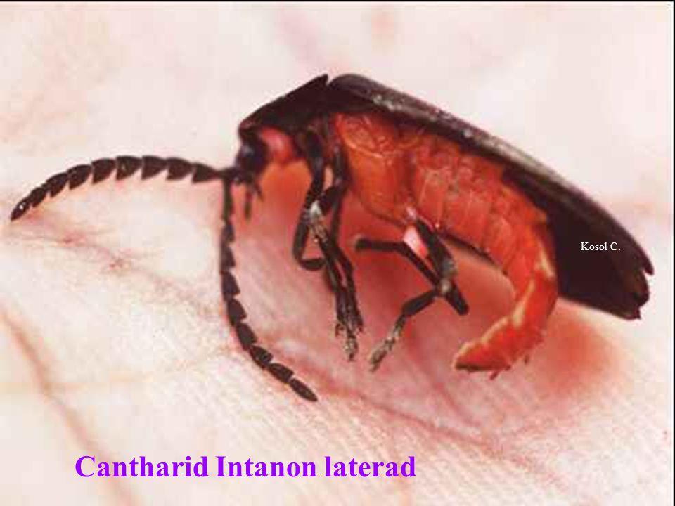 Cantharid Intanon laterad