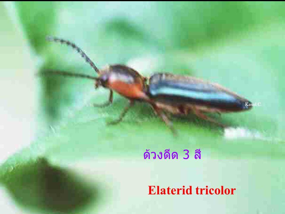 Kosol C. ด้วงดีด 3 สี Elaterid tricolor