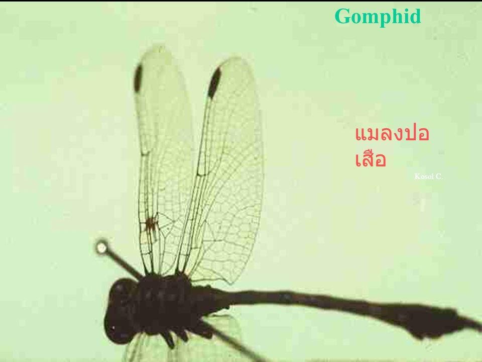 Gomphid แมลงปอเสือ Kosol C.