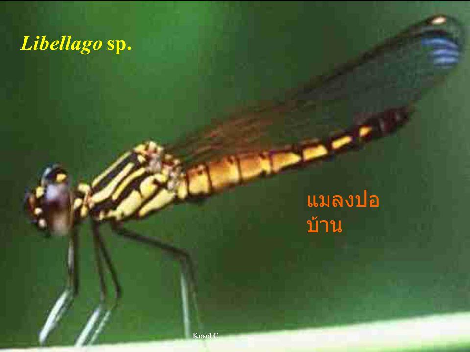 Libellago sp. แมลงปอบ้าน Kosol C.