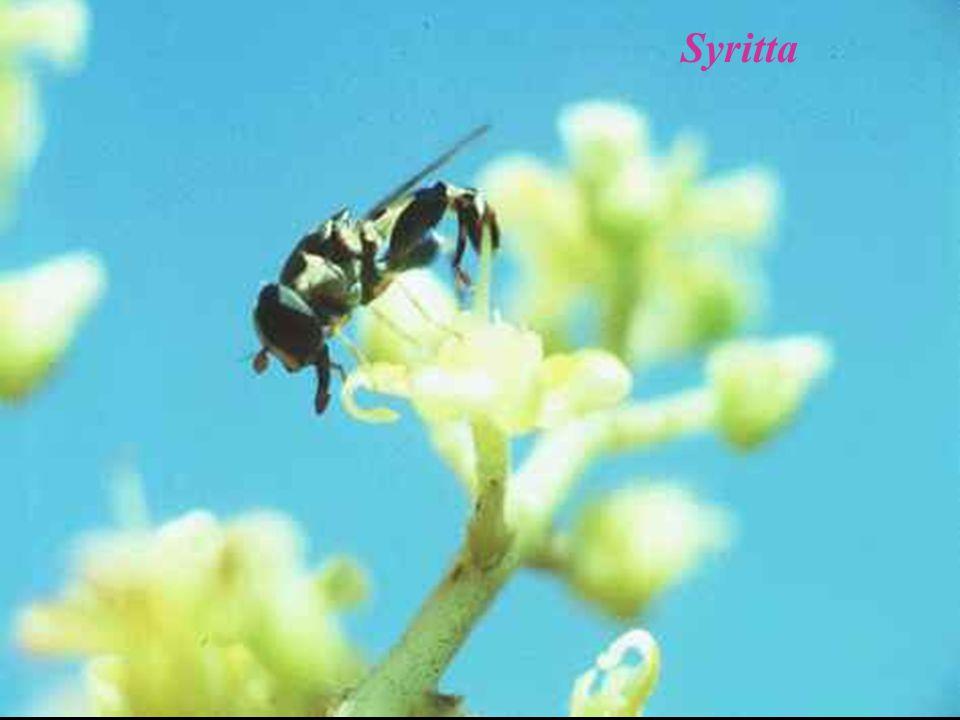 Syritta