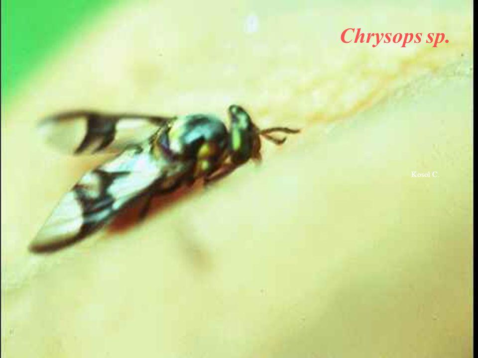 Chrysops sp. Kosol C.