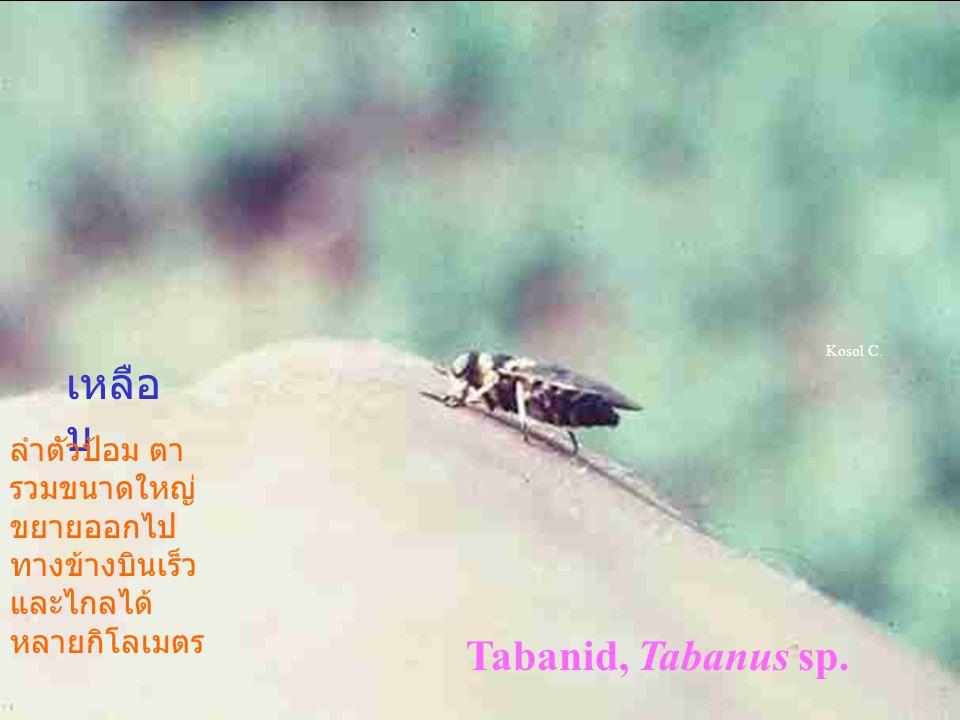 เหลือบ Tabanid, Tabanus sp.
